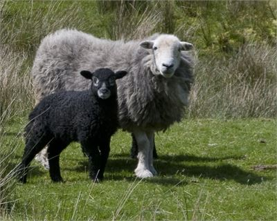 Herdwick sheep with lamb