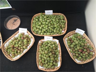 Gooseberries from Trial