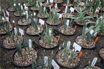 Snowdrops trial to compare Dalefoot Composts