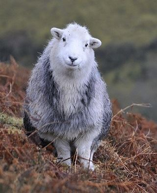 Herdwick sheep in bracken